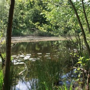 Nénuphars sur l'étang